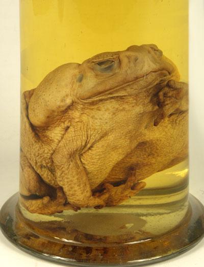 Kunstkamera Aga Toad Preparation